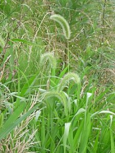 250px-setaria_viridis_p-_beauv-_enokorogusa-japanese