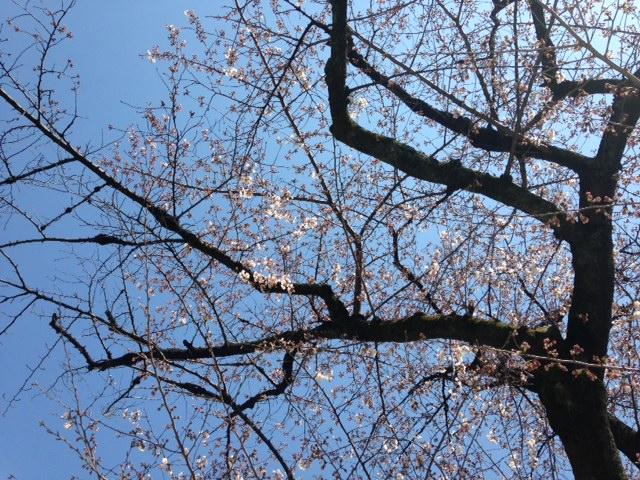 見上げる三分咲きの桜